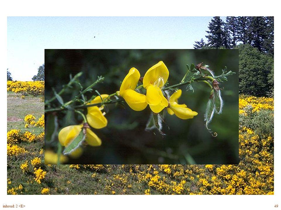 Cytisus scoparius twijg, bloei 49inhoud: 2