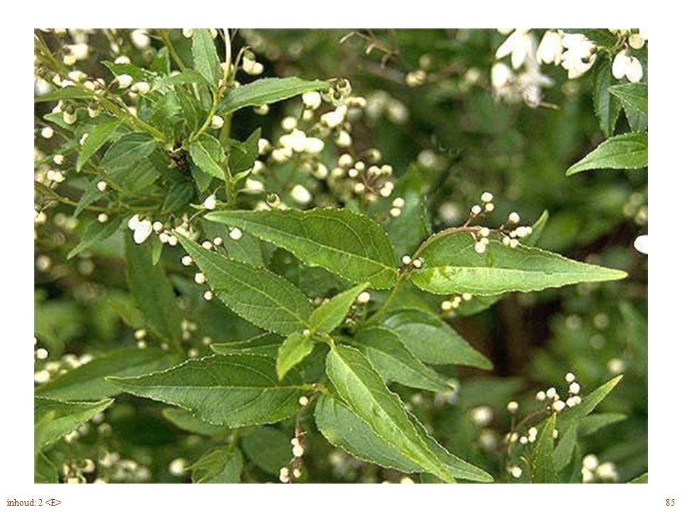 Deutzia gracilis blad 85inhoud: 2