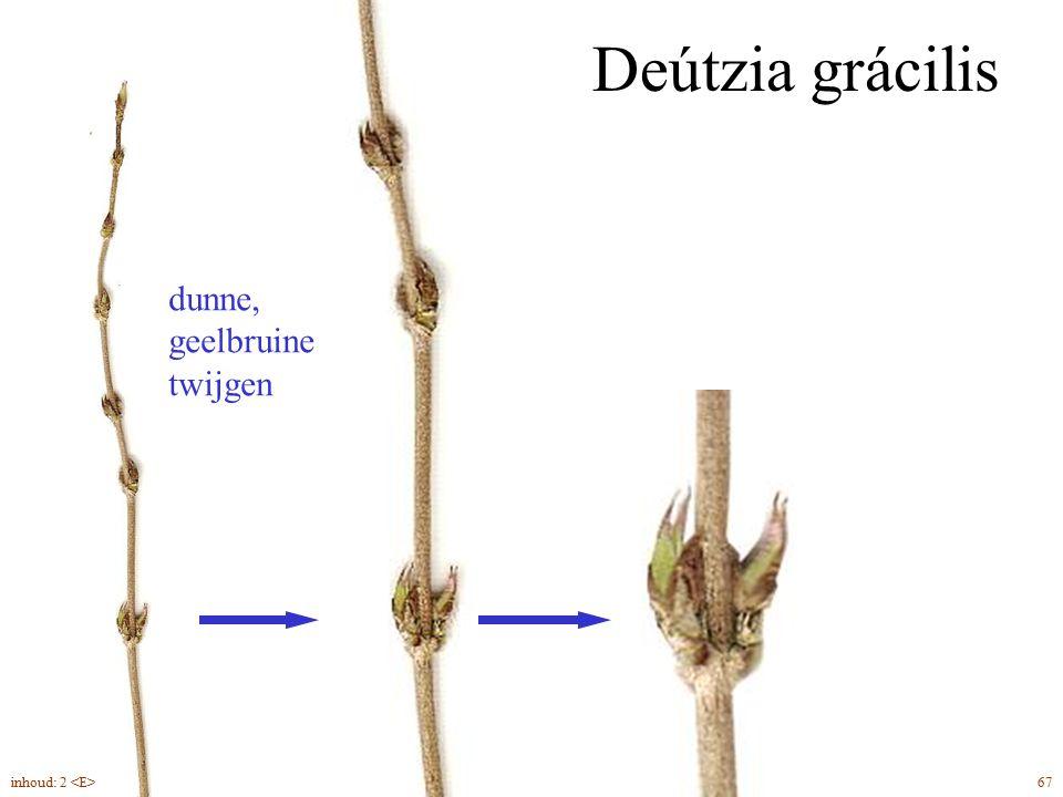Deútzia grácilis dunne, geelbruine twijgen 67inhoud: 2