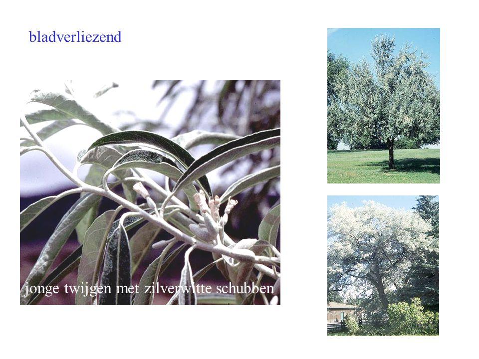 bladverliezend jonge twijgen met zilverwitte schubben Elaeagnus angustifolia blad boom