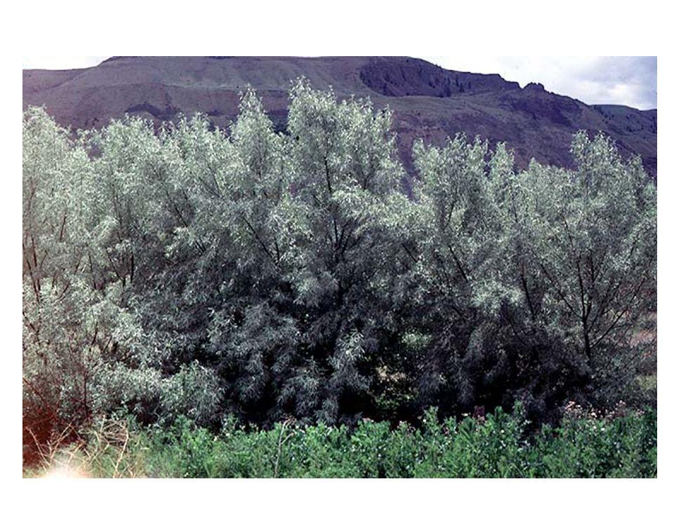 Elaeagnus angustifolia blad struik