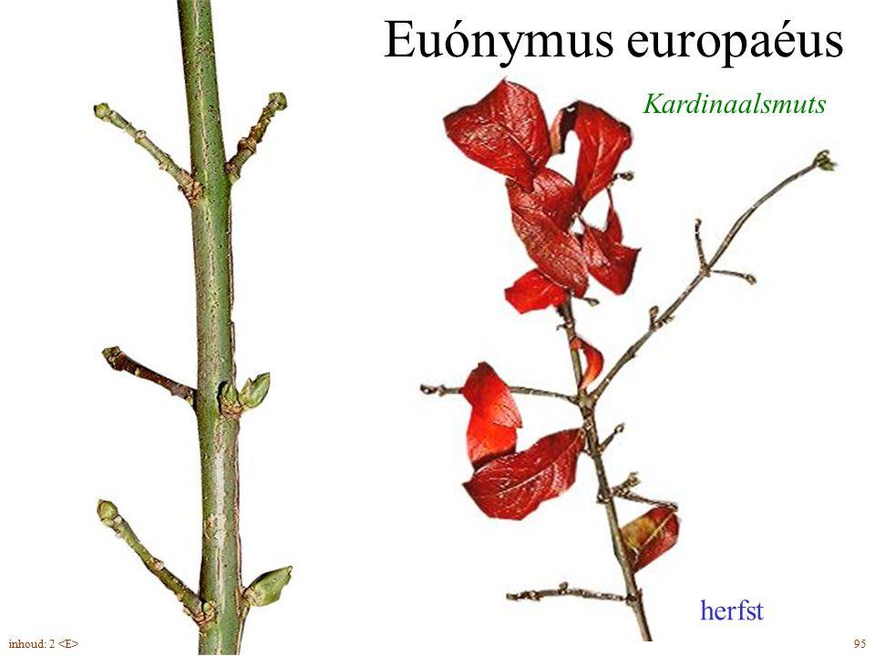 Euónymus europaéus Kardinaalsmuts herfst 95inhoud: 2