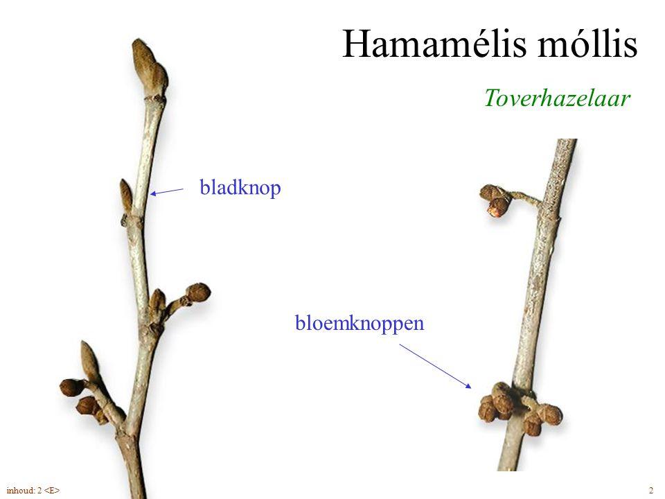 Hamamélis móllis Toverhazelaar bladknop bloemknoppen 2inhoud: 2