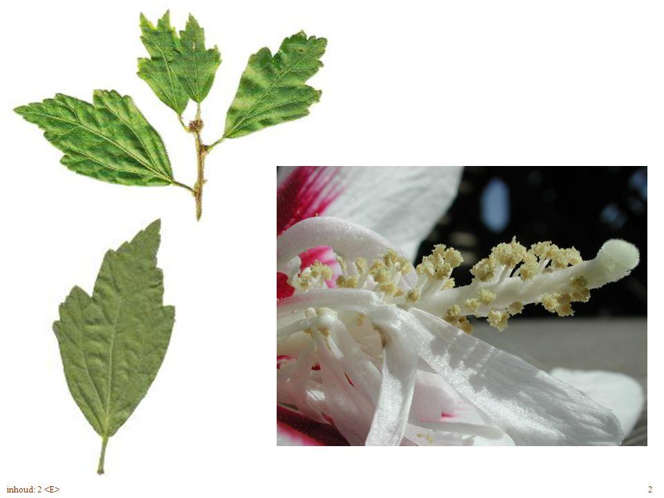Hibiscus syriacus blad, bloem 2inhoud: 2