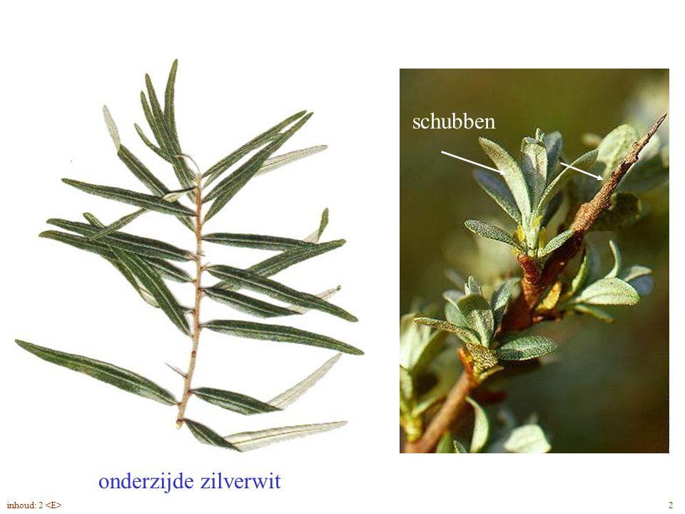 schubben onderzijde zilverwit Hippophae rhamnoides blad 2inhoud: 2