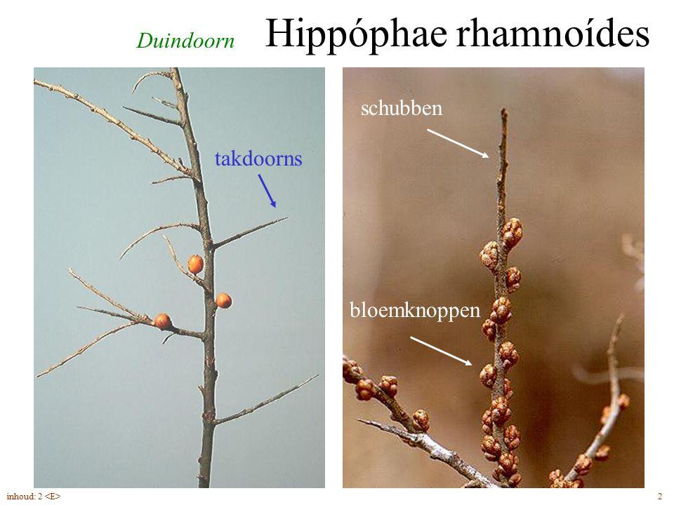 Duindoorn Hippóphae rhamnoídes takdoorns schubben bloemknoppen 2inhoud: 2