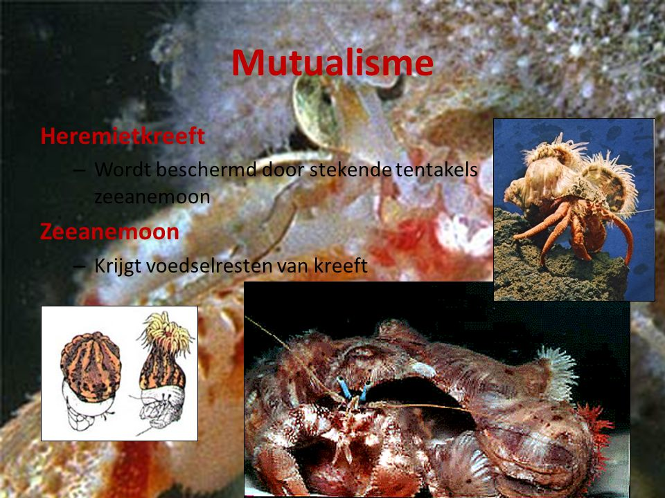 Mutualisme Heremietkreeft – Wordt beschermd door stekende tentakels zeeanemoon Zeeanemoon – Krijgt voedselresten van kreeft