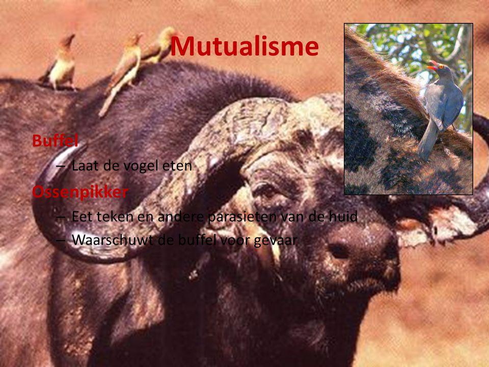 Mutualisme Korstmossen, bestaan uit: 1) Algen – Maken organische stoffen (suikers) m.b.v.