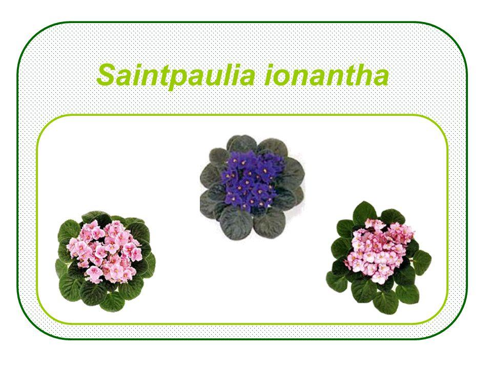 Rhododendron-Simsii- Hybriden