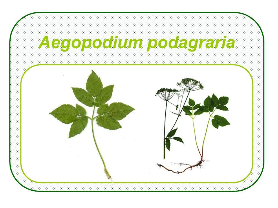Aegopodium podagraria