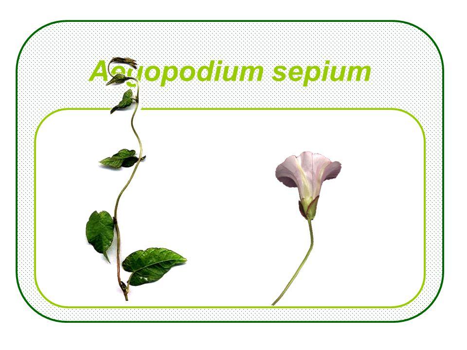 Lamium alba