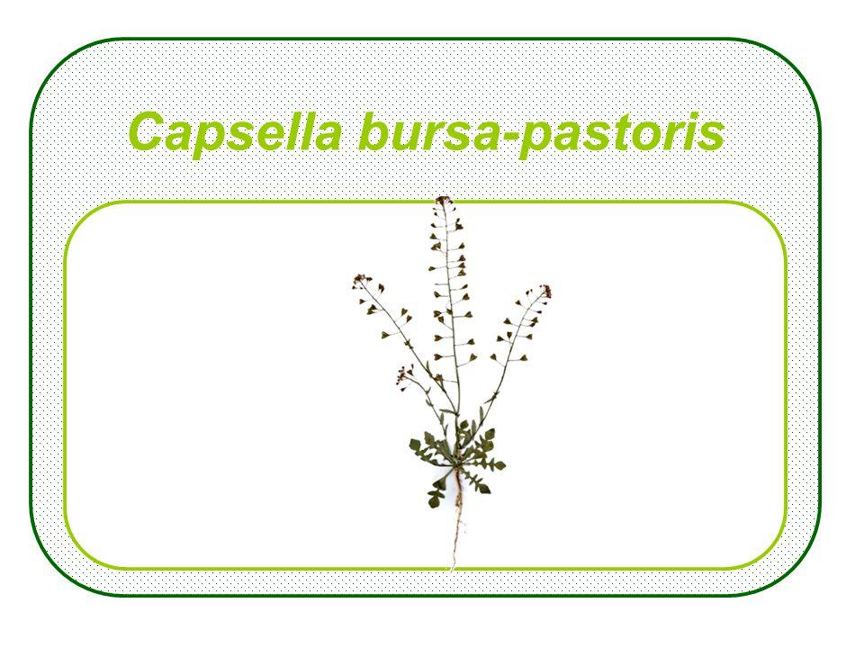 Aegopodium sepium
