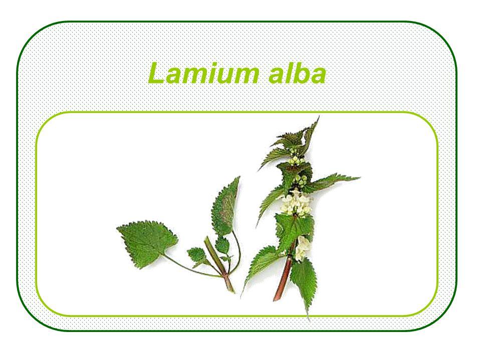 Gallium aparine