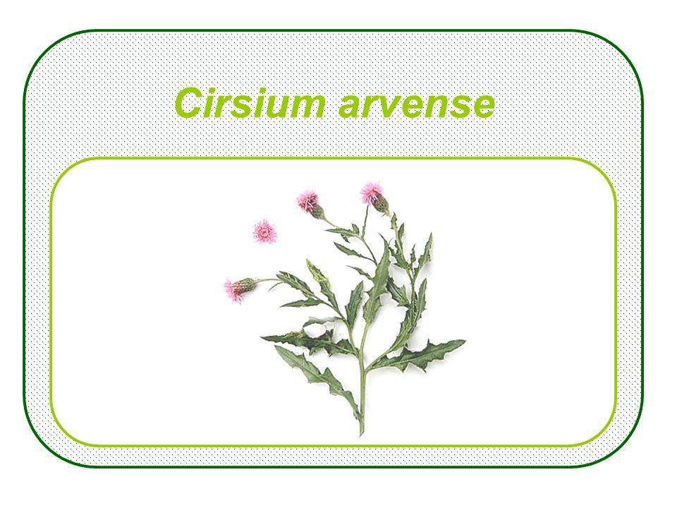Chamaenerion angustifolium