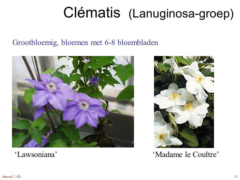 Clématis (Lanuginosa-groep) 'Lawsoniana''Madame le Coultre' Grootbloemig, bloemen met 6-8 bloembladen 31inhoud: 2