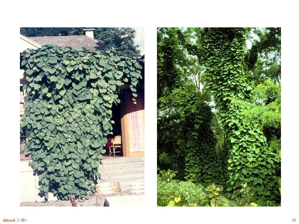 Aristolóchia macrophylla blad, plant 10inhoud: 2