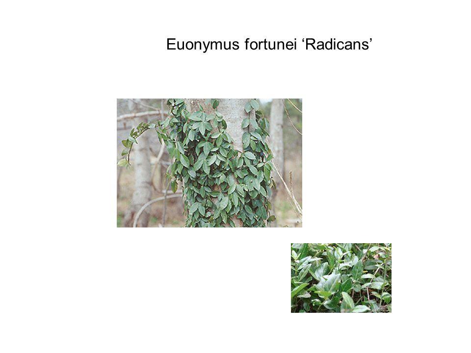 Euonymus fortunei 'Radicans'