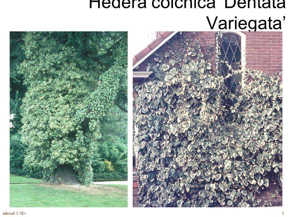 Hédera cólchica 'Dentata Variegata' 2inhoud: 2 getande bladeren