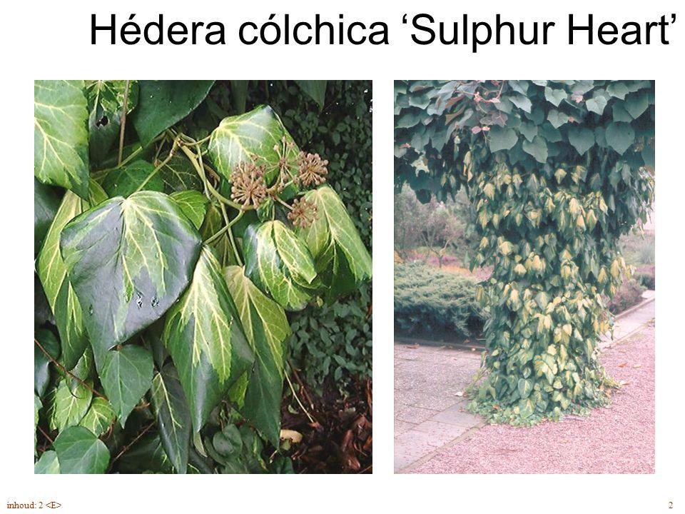 Hédera cólchica 'Sulphur Heart' 2inhoud: 2