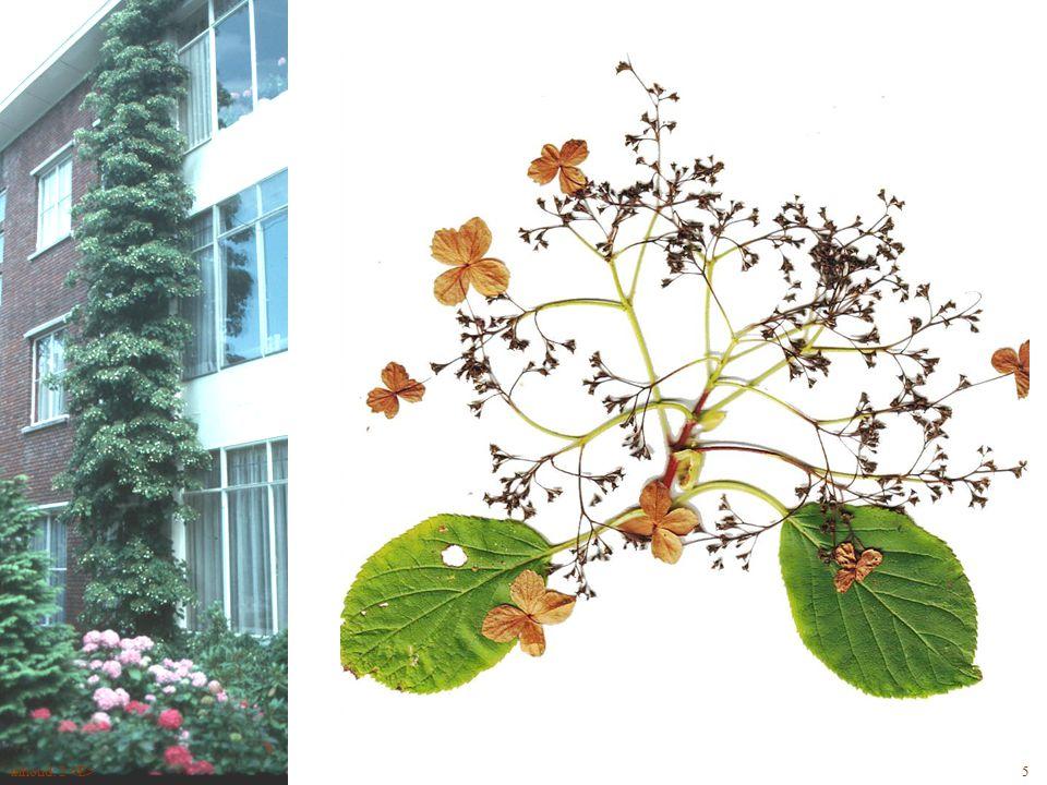 Hydrangea anomala bloem 5inhoud: 2