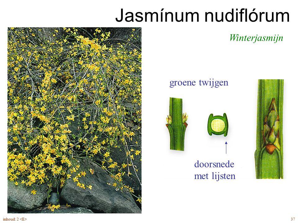 Jasmínum nudiflórum Winterjasmijn 37inhoud: 2 doorsnede met lijsten groene twijgen