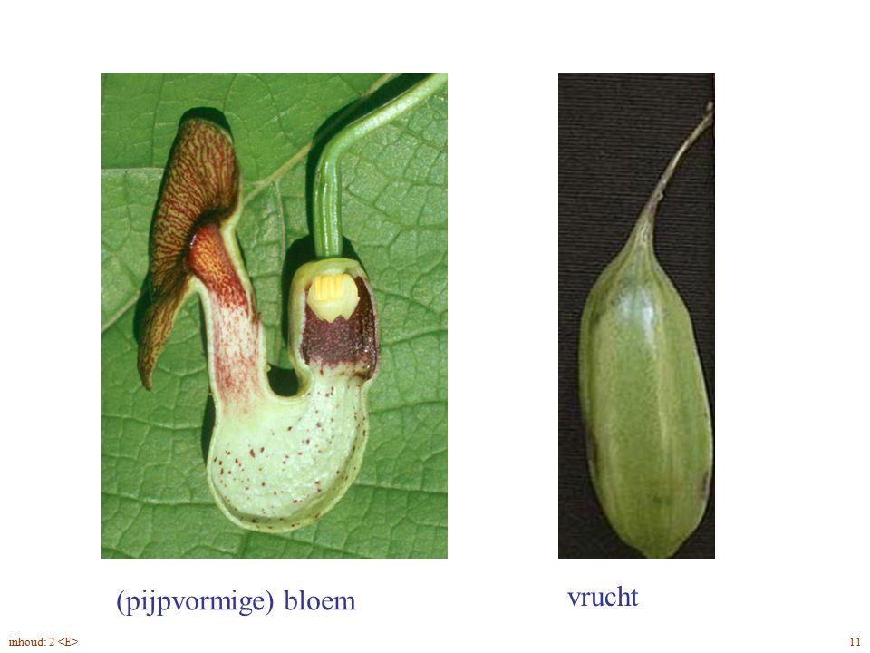 Aristolóchia macrophýlla Duitse pijp linkswindend 12inhoud: 2
