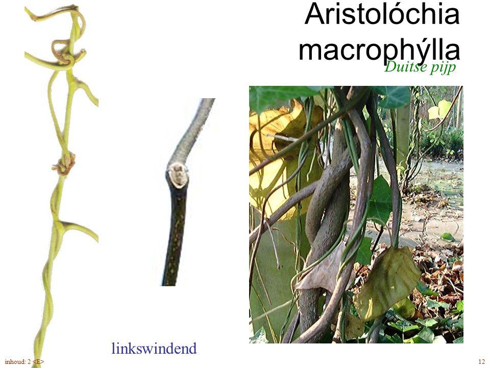 herfst drielobbig blad Parthenocissus tricuspidata herfst bladschijven vallen af, bladstelen blijven aan 47inhoud: 2