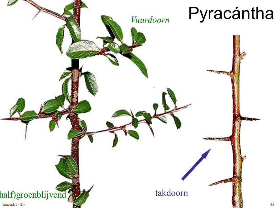(half)groenblijvend takdoorn Vuurdoorn Pyracántha 46inhoud: 2