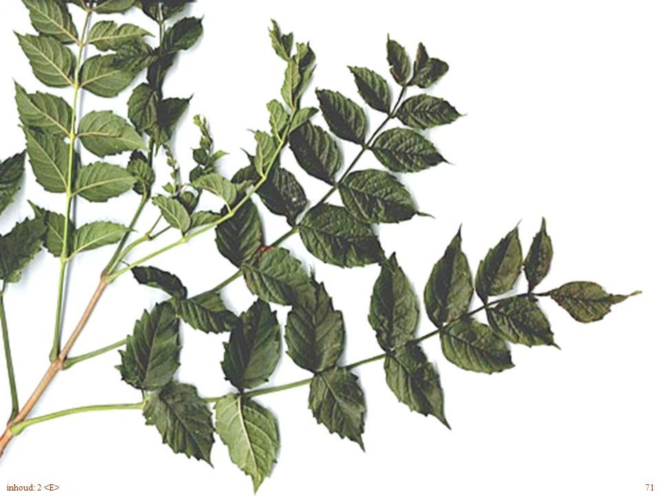 Hédera hélix 'Hibernica' Ierse klimop groenblijvend groter blad ondiep gelobd hechtwortels klimvorm (niet bloeiend) bloemen en onrijpe vruchten 2inhoud: 2