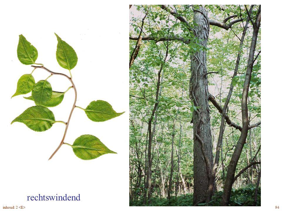 Euónymus fortúnei 'Vegetus' groenblijvend opvallend grote knoppen 96inhoud: 2
