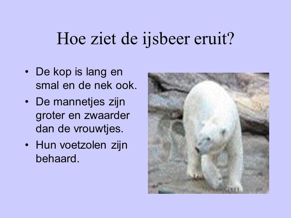 Hoe ziet de ijsbeer eruit? De kop is lang en smal en de nek ook. De mannetjes zijn groter en zwaarder dan de vrouwtjes. Hun voetzolen zijn behaard.