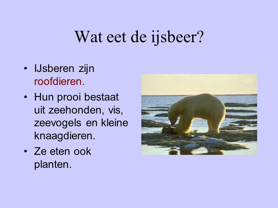 Wat eet de ijsbeer? IJsberen zijn roofdieren. Hun prooi bestaat uit zeehonden, vis, zeevogels en kleine knaagdieren. Ze eten ook planten.