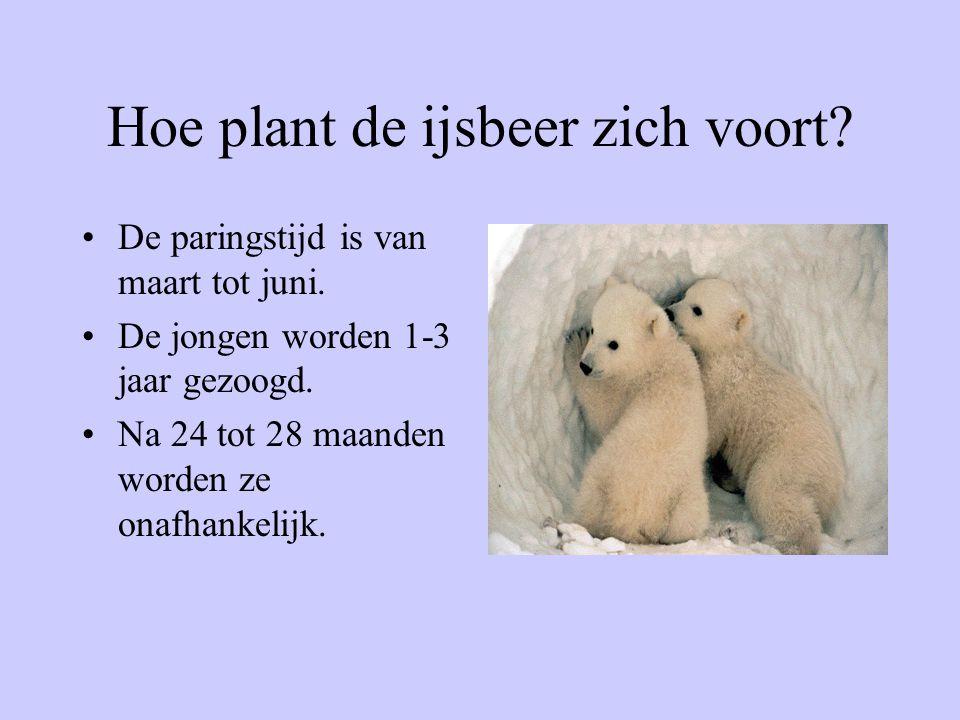 Hoe plant de ijsbeer zich voort? De paringstijd is van maart tot juni. De jongen worden 1-3 jaar gezoogd. Na 24 tot 28 maanden worden ze onafhankelijk