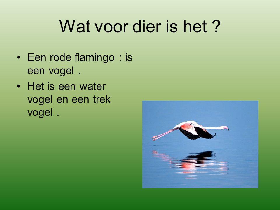 Wat voor dier is het ? Een rode flamingo : is een vogel. Het is een water vogel en een trek vogel.
