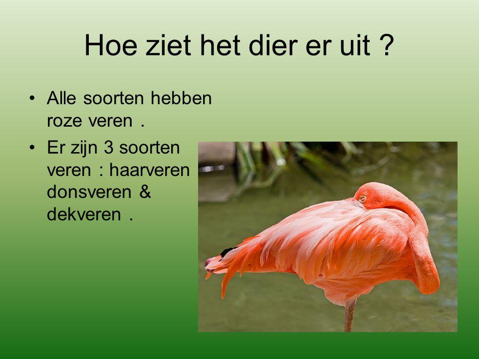 Hoe ziet het dier er uit ? Alle soorten hebben roze veren. Er zijn 3 soorten veren : haarveren, donsveren & dekveren.
