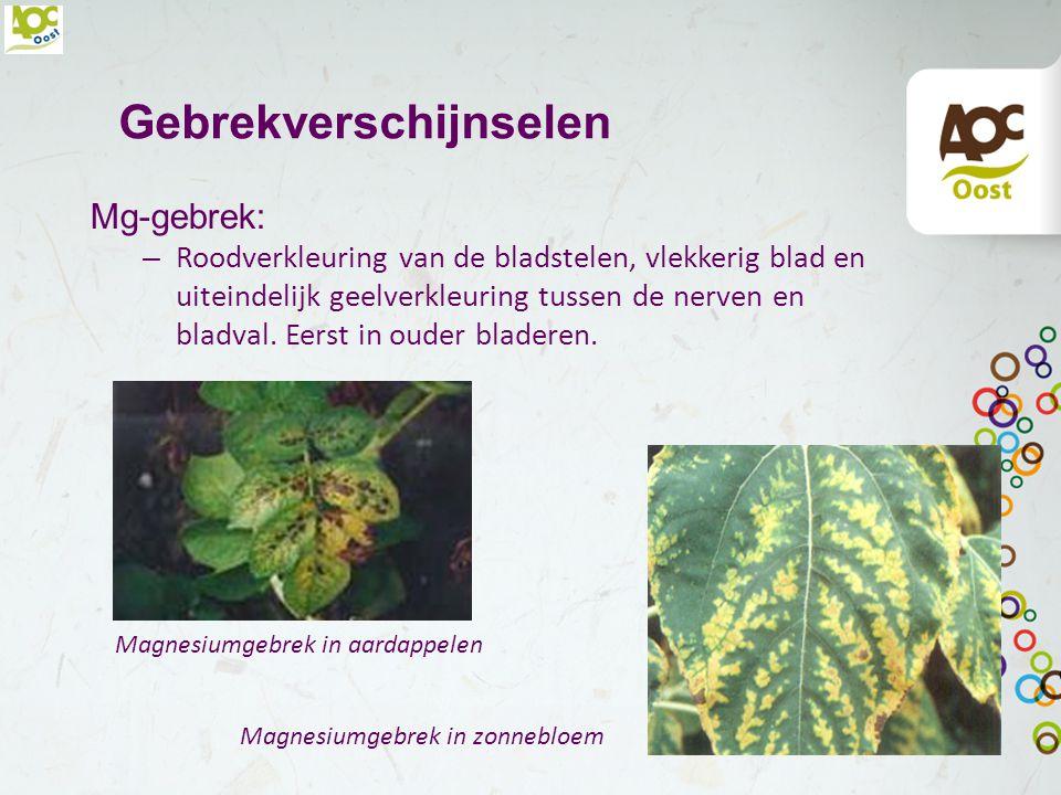 Gebrekverschijnselen K-gebrek: – Midden- en onderin gele verkleuring van de bladranden, later afsterving. De groei blijft duidelijk achter. Het gewas