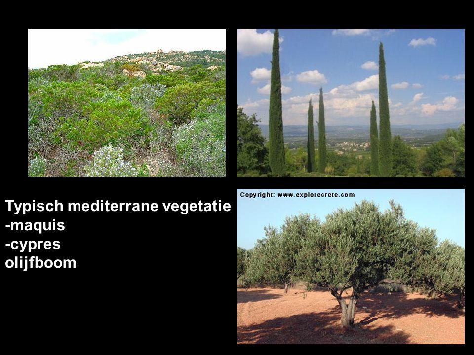 Typisch mediterrane vegetatie -maquis -cypres olijfboom
