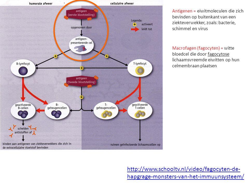 Antigenen = eiwitmoleculen die zich bevinden op buitenkant van een ziekteverwekker, zoals: bacterie, schimmel en virus Macrofagen (fagocyten) = witte bloedcel die door fagocytose lichaamsvreemde eiwitten op hun celmembraan plaatsen http://www.schooltv.nl/video/fagocyten-de- hapgrage-monsters-van-het-immuunsysteem/