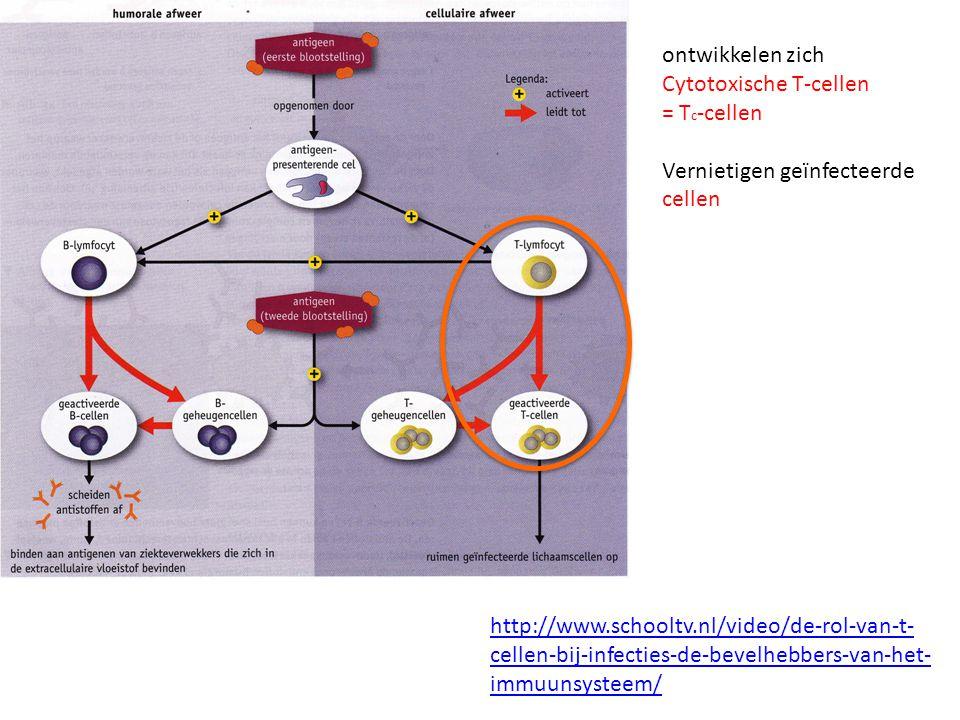 ontwikkelen zich Cytotoxische T-cellen = T c -cellen Vernietigen geïnfecteerde cellen http://www.schooltv.nl/video/de-rol-van-t- cellen-bij-infecties-de-bevelhebbers-van-het- immuunsysteem/