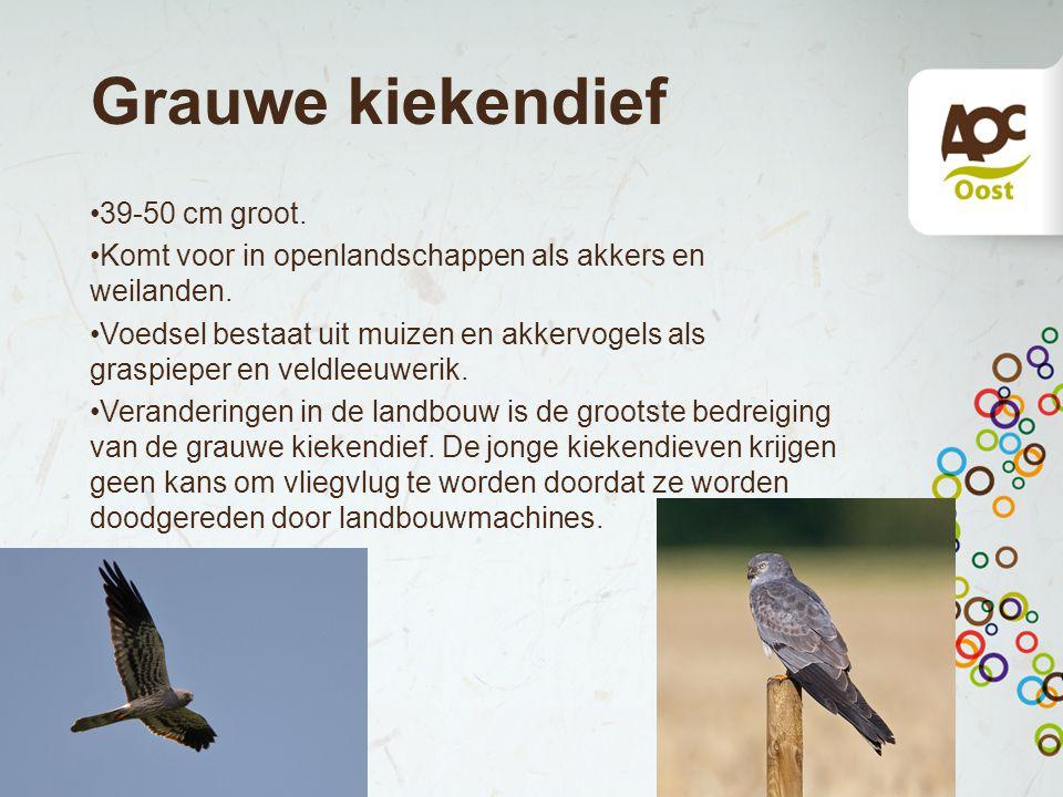 Grauwe kiekendief 39-50 cm groot. Komt voor in openlandschappen als akkers en weilanden. Voedsel bestaat uit muizen en akkervogels als graspieper en v