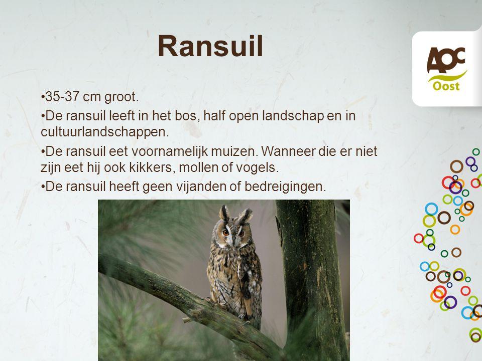 Ransuil 35-37 cm groot. De ransuil leeft in het bos, half open landschap en in cultuurlandschappen. De ransuil eet voornamelijk muizen. Wanneer die er