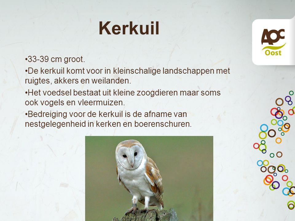 Kerkuil 33-39 cm groot. De kerkuil komt voor in kleinschalige landschappen met ruigtes, akkers en weilanden. Het voedsel bestaat uit kleine zoogdieren