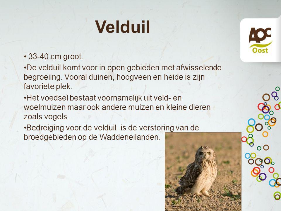 Velduil 33-40 cm groot. De velduil komt voor in open gebieden met afwisselende begroeiing. Vooral duinen, hoogveen en heide is zijn favoriete plek. He