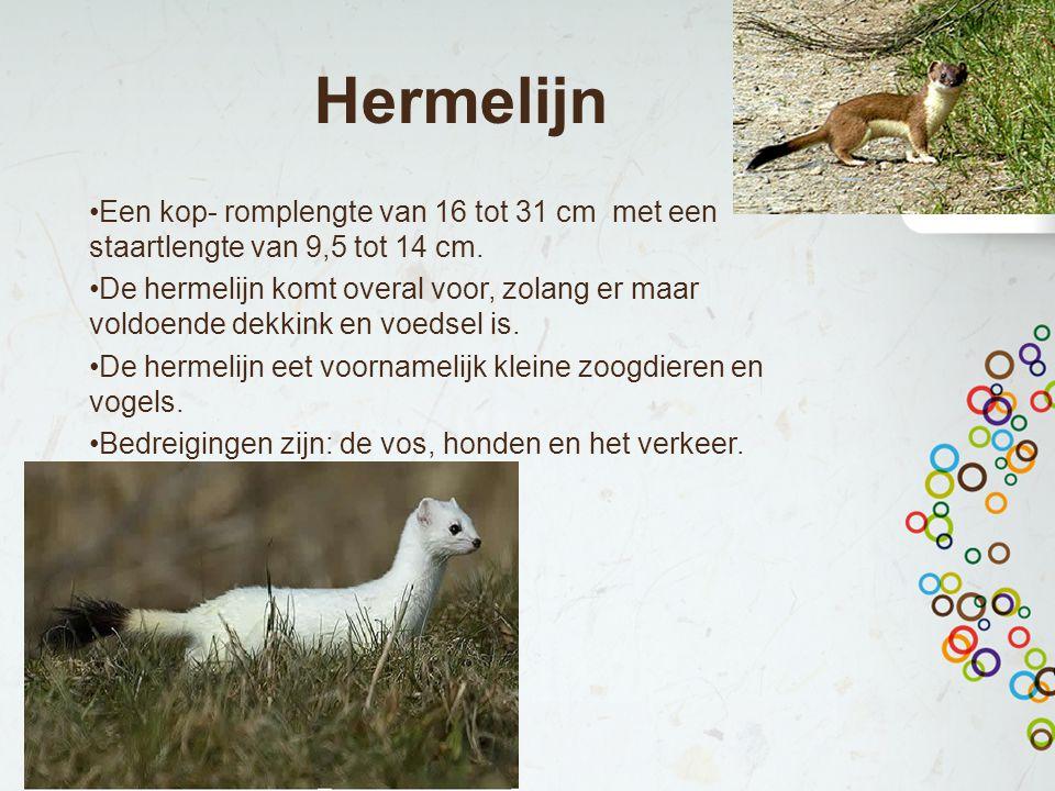 Hermelijn Een kop- romplengte van 16 tot 31 cm met een staartlengte van 9,5 tot 14 cm. De hermelijn komt overal voor, zolang er maar voldoende dekkink
