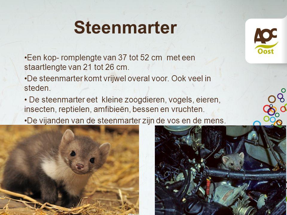 Steenmarter Een kop- romplengte van 37 tot 52 cm met een staartlengte van 21 tot 26 cm. De steenmarter komt vrijwel overal voor. Ook veel in steden. D