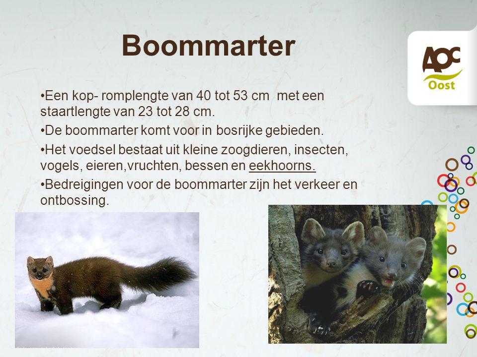 Boommarter Een kop- romplengte van 40 tot 53 cm met een staartlengte van 23 tot 28 cm. De boommarter komt voor in bosrijke gebieden. Het voedsel besta
