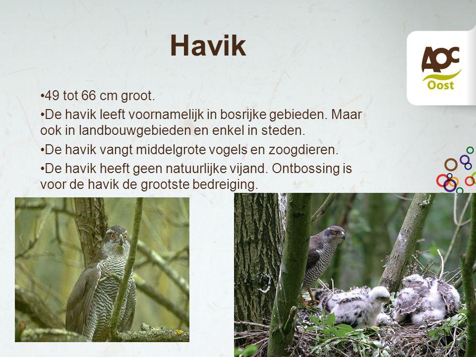 Havik 49 tot 66 cm groot. De havik leeft voornamelijk in bosrijke gebieden. Maar ook in landbouwgebieden en enkel in steden. De havik vangt middelgrot