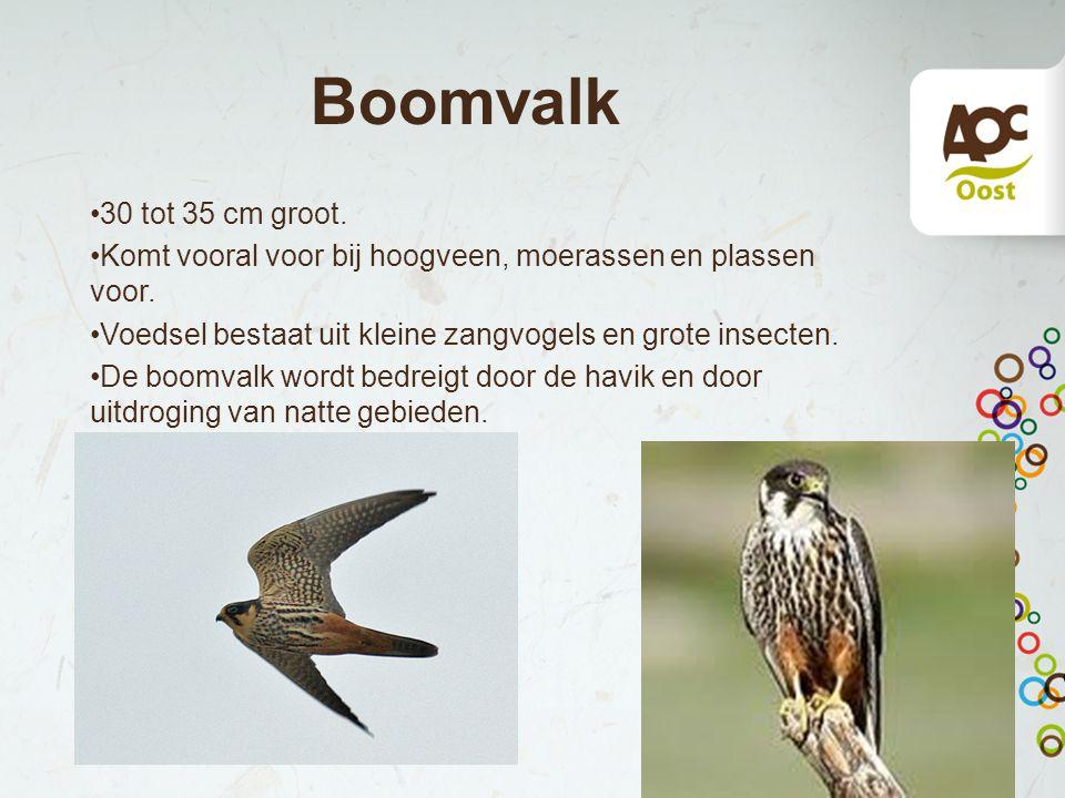 Boomvalk 30 tot 35 cm groot. Komt vooral voor bij hoogveen, moerassen en plassen voor. Voedsel bestaat uit kleine zangvogels en grote insecten. De boo