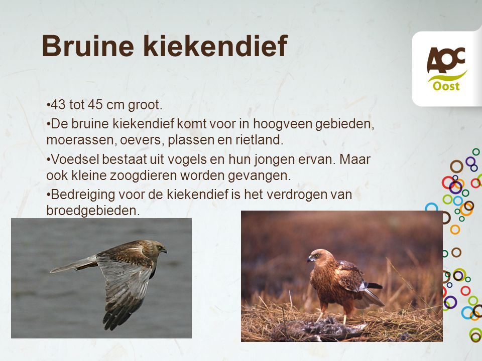 Bruine kiekendief 43 tot 45 cm groot. De bruine kiekendief komt voor in hoogveen gebieden, moerassen, oevers, plassen en rietland. Voedsel bestaat uit