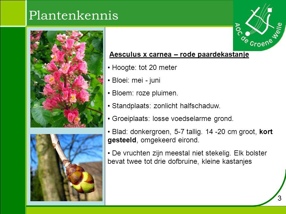 Plantenkennis Aesculus hippocastanum - paardekastanje Hoogte: 20 tot 25 m Bloei: mei Bloem: wit, eindstandige bloempluim Groeiplaats: kleigrond of leemhoudende grond, maar gedijt ook in andere grondsoorten Blad: handvormige samengestelde bladeren.
